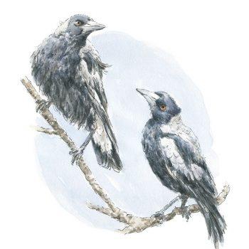 Magpie Australian Bird Print