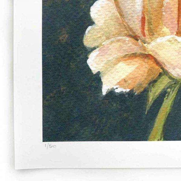 peach rose limited edition print