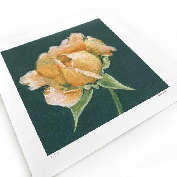 peach rose painting giclee print